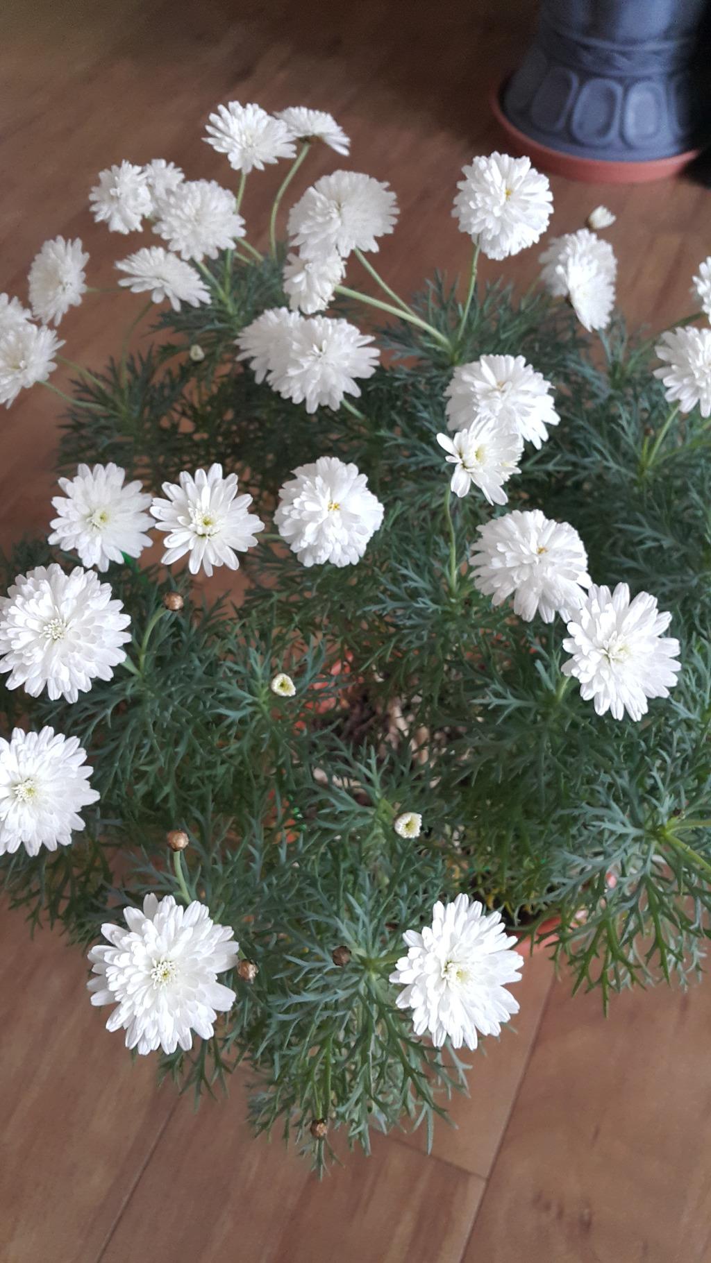 흰겹꽃 목마가렛