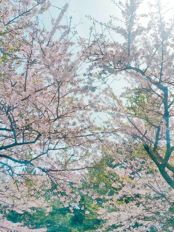 벚꽃이 활짝!